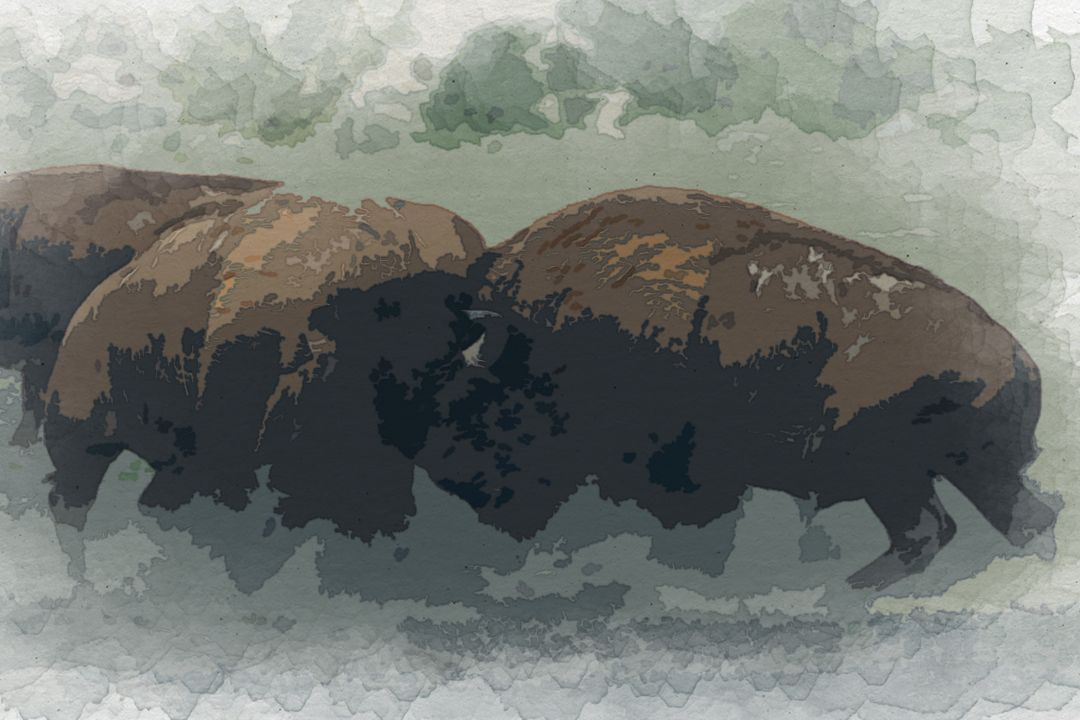 photo of fighting bison